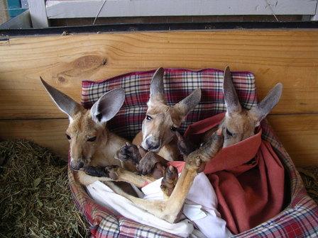 07.01.2007 - Trois jeunes kangourous orphelins. Alice Springs.