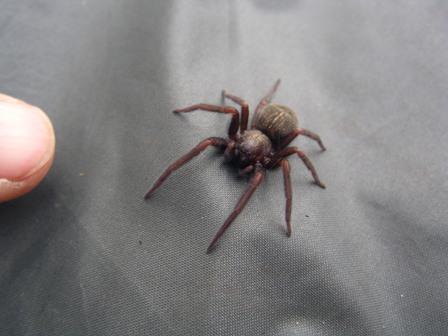"""13.01.2007 - Belle """"Hunting Spider"""" sur mon tapis de sol."""
