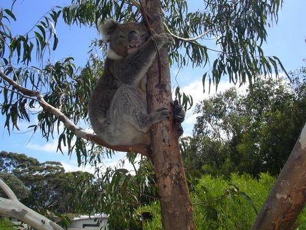 14.01.2007 - Splendide koala. Flinders Chase. Kangaroo Island.