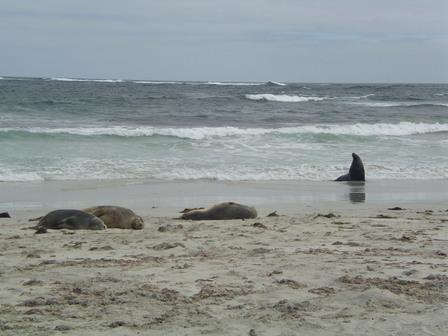 14.01.2007 - Otaries australiennes. Seal Bay. Kangaroo Island.