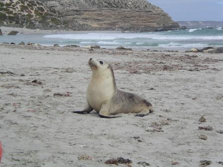 14.01.2007 - Jeune otarie curieuse. Seal Bay. Kangaroo Island.