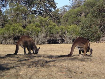 Impressionnants kangourous !