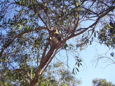 Koala en pleine inactivité, comme souvent. Western KI.