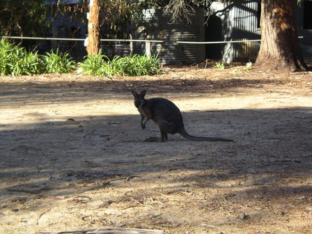 Un wallaby aux aguets. Western KI.