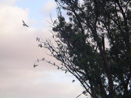 21.01.2007 - Les cacatoès de Wellington.