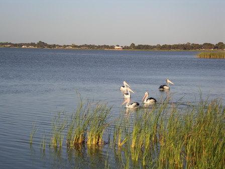 22.01.2007 - Pélicans sur le lac Albert. Meningie.