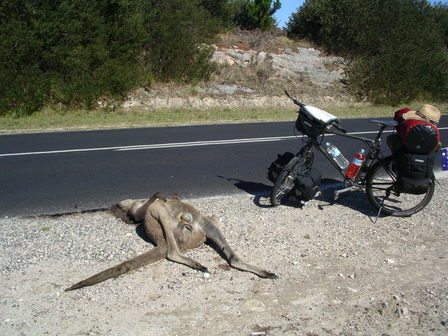 25.01.2007 - Un énorme kangourou vient d'être tué par un conducteur (pressé ?).