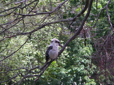 Voici le kookaburra !