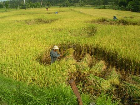 01.12.2006 - Récolte du riz. Lombok.